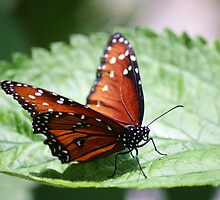 Viceroy Butterfly by Paulette1021