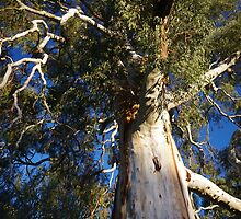 Mighty red gum. by MarieB