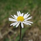 Daisy in a Field by Samantha Reddington