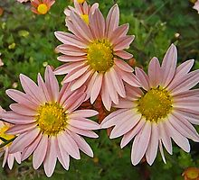 Pink Chrysanthemums Art by naturesfancy
