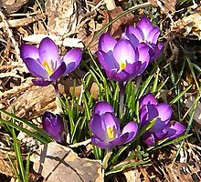 Purple Crocus Floral Art by naturesfancy