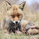 Fox_4856 by DutchLumix