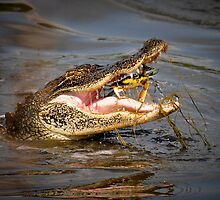 Alligator snagging a Crab for Breakfast by imagetj