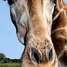 close encounters... giraffe on safari by ClaireTiltman