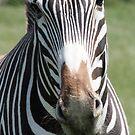 zebra - port lympne zoo by ClaireTiltman