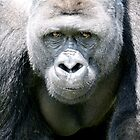 gorilla - port lympne zoo by ClaireTiltman
