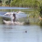 Swan Attack by daveevans