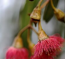 Aussie Native - Flowering Gum by Joy Watson