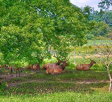 Elk Herd by ECH52
