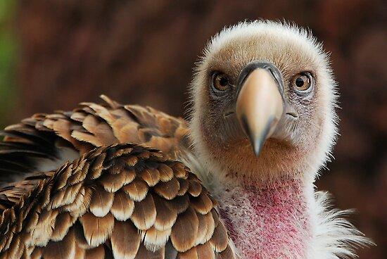 Griffin Vulture (Gyps fulvus)  by Steve  Liptrot