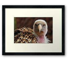 Griffin Vulture (Gyps fulvus)  Framed Print