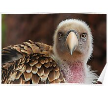 Griffin Vulture (Gyps fulvus)  Poster