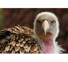Griffin Vulture (Gyps fulvus)  Photographic Print