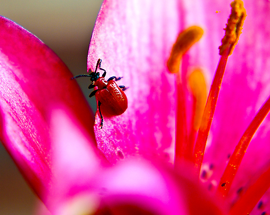 Lily Beetle by Trevor Kersley
