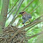 Cedar Waxwing Nesting  by Judy Grant