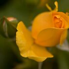 Yellow Rose by Harv Churchill