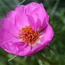 Moss Rose by Kelly Cavanaugh