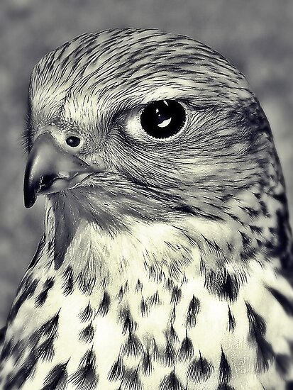 The Stare Of A Saker Falcon. by Aj Finan