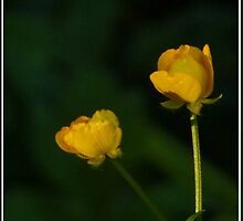 Two Buttercups, by jmcJMC