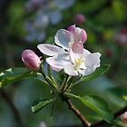 Apple Blossom by jcahlvin