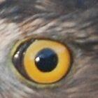 Hawk Eye by jcahlvin