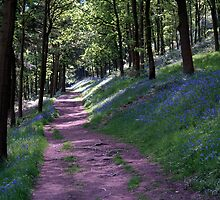 Bluebell Walk of the Lady Bower by saxonfenken