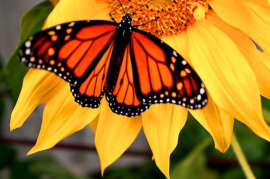 """Male Monarch and Sunflower"" by Nicolette Gregory"