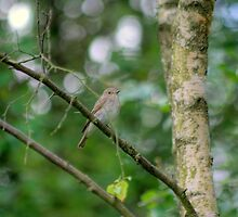 Spotted Flycatcher by VoluntaryRanger
