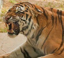 Unhappy tiger! by Rick Montgomery