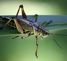 Grass Hopper by Paulette1021