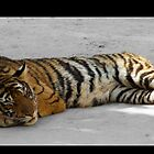 Sleeping Cat - Thailand Tiger Temple by Tim Topping