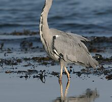 Grey Heron by Paul Blackley