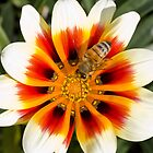 POLLINATOR, RULER OF GAZANIA by Jason Asher