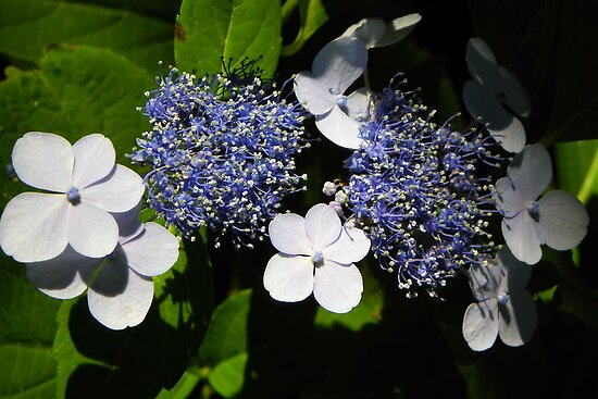 Blue Lace-Cap Hydrangea by MaryinMaine