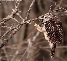 Specialized Landing Gear / Barred Owl by Gary Fairhead