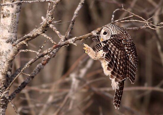Specialized Landing Gear / Barred Owl by Gary Fairhead