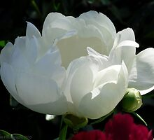 White Elegant Peony in Bloom by Barberelli