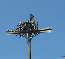 Osprey Nest Atop Telephone Pole by Debbie Robbins