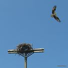 Osprey Flew the Cookoo's Nest by Debbie Robbins