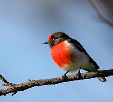 Red-capped Robin ... blue skies by mosaicavenues