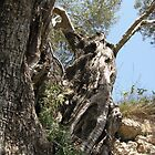 the olive tree a living history . by bacci