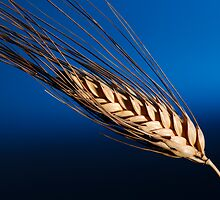 Tenons of wheat over blue background by Josep M Penalver