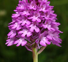 Pyramidal Orchid by Roger Butterfield