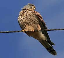 Holding The Line - Common Kestrel - None Captive by snapdecisions