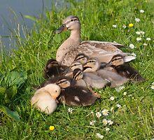 Snuggly Ducklings by Ann Miller