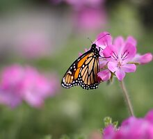 Monarch butterfly on pink flowers by Sarah Vilar