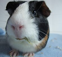 Oreo The Guinea Pig by photolover08