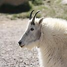 Mtn Goat  by jeff welton