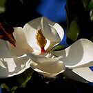 Magnolia with blue sky by loiteke