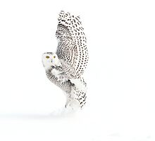 Cool Thoughts / Snowy Owl by Gary Fairhead